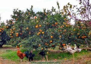 Bio Orangen in Tirol